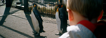 Child-looking-at-penguins-at-the-zoo